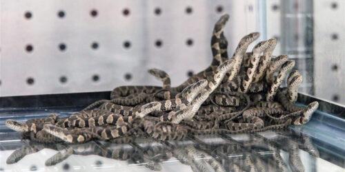 juv_snakes_sm