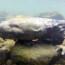 Saving the Hellbender, a Giant Salamander Under Threat
